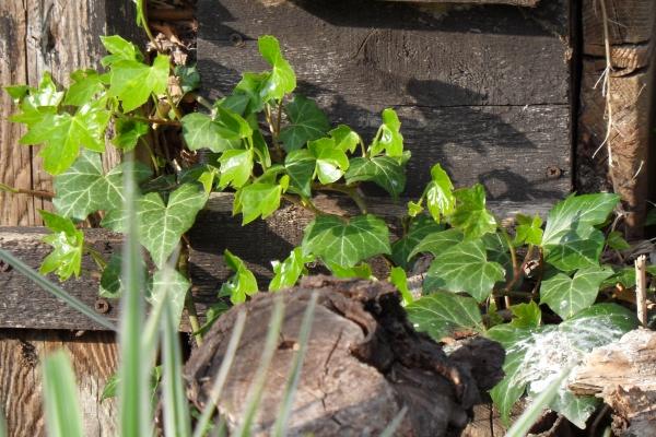 Efeuranke in der Sonne