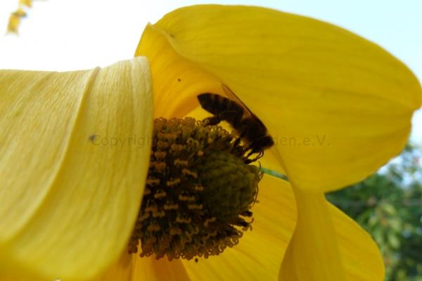 Biene unterm